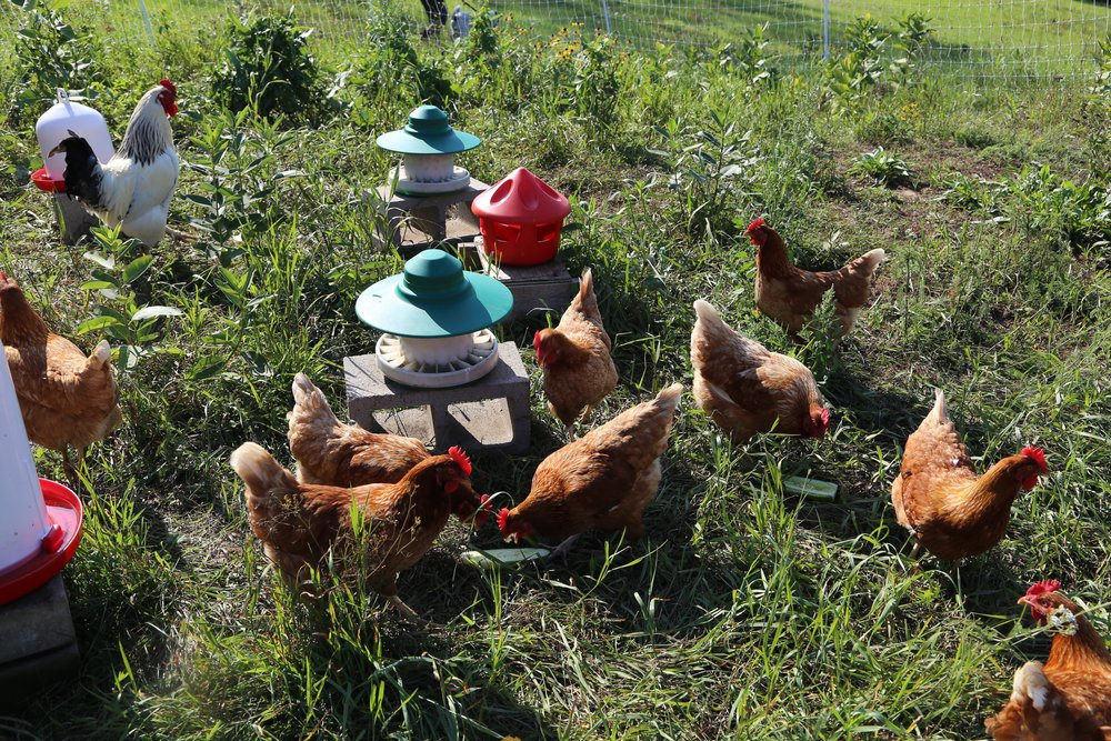 chickens in pasture.jpg