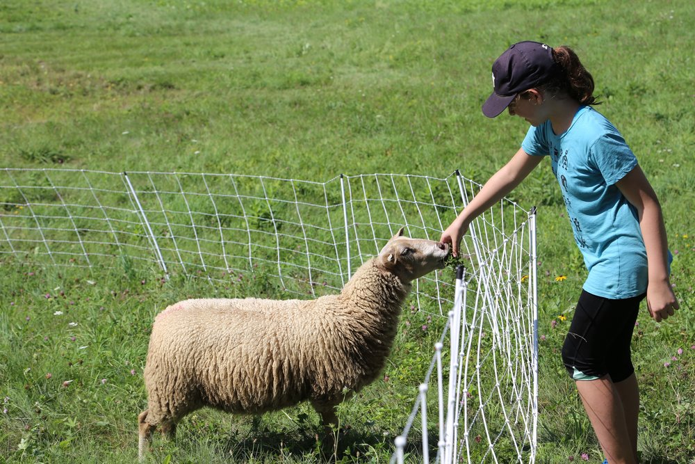 Mia feeding sheep.jpg