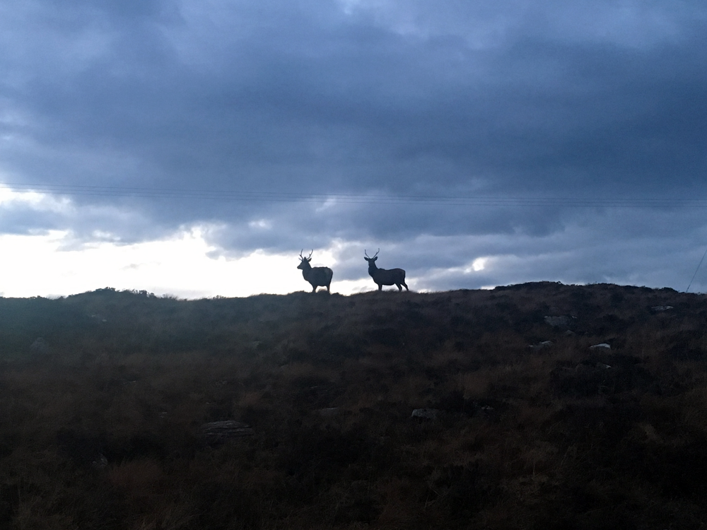 stags on the hill on the way to applecross