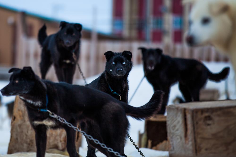 Iditarod Team, Kotzebue-1.jpg