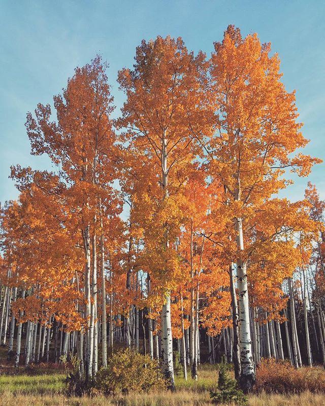 Aspen Trees  #photography #northernarizona #landscape #adventure #arizona #aspen #trees #sanfransiscopeaks #flagstaff