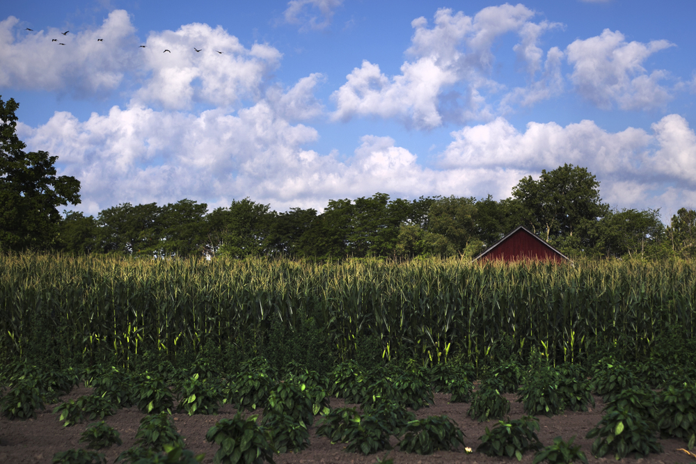 A shed peeks above the corn line on a family farm near Sylvania, Ohio. With Ohio widely considered a swing state, politicians from both parties are campaigning hard to influence voters in small towns as the 2012 election draws nearer.