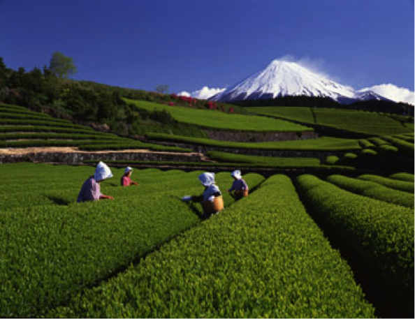 Harvesting Matcha Tea