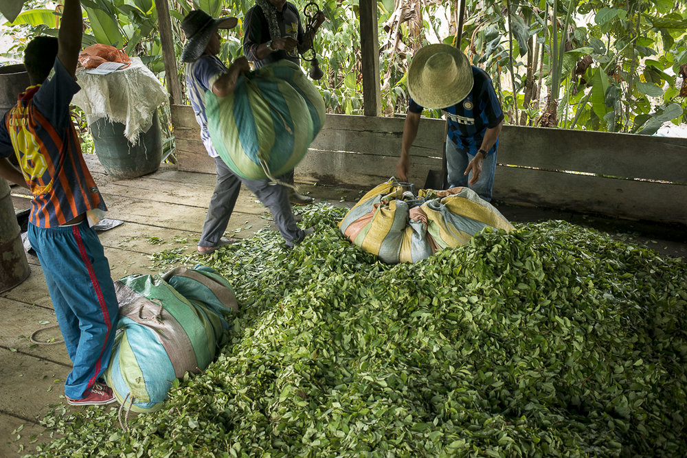 "Some coca-leaf pickers, weigh their day crop. A ""raspachino"" could win between 30.000 and 100.000 Colombian pesos by day (between 10 and 35 US dollars), dependiJanuary 21, 2016. Putumayo. Some coca-leaf pickers, weigh their day crop. A ""raspachino"" could win between 30.000 and 100.000 Colombian pesos by day (between 10 and 35 US dollars), depending of the quality of the field. The classic income for a day worker in the countryside rarely exceeds 20.000 Colombian pesos by days.ng of the quality of the field. The classic income for a day worker in the countryside rarely exceeds 20.000 Colombian pesos by days. (January 21, 2016, Putumayo)"