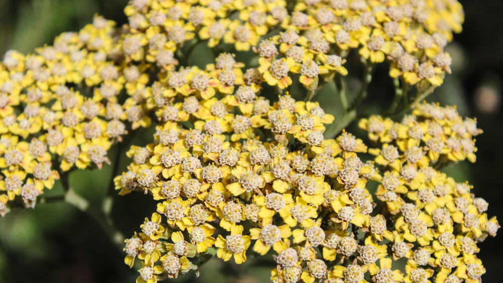 Achillea millefolium (Yarrow) A closeup shot of a yellow gardeners variety of Yarrow