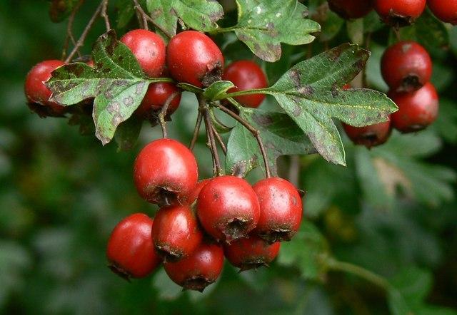 Hawthorn_berries_Postern_Hill_Savernake_Forest_-_geograph.org_.uk_-_325144.jpg