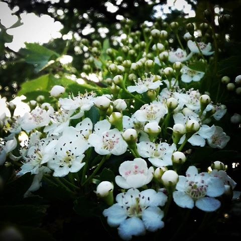 Hawthorn flowers bloom in late April/May