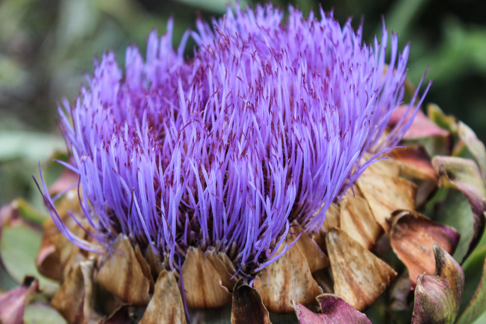 Cynara scolymus (Globe Artichoke) A closeup shot of a Globe Artichoke in bloom