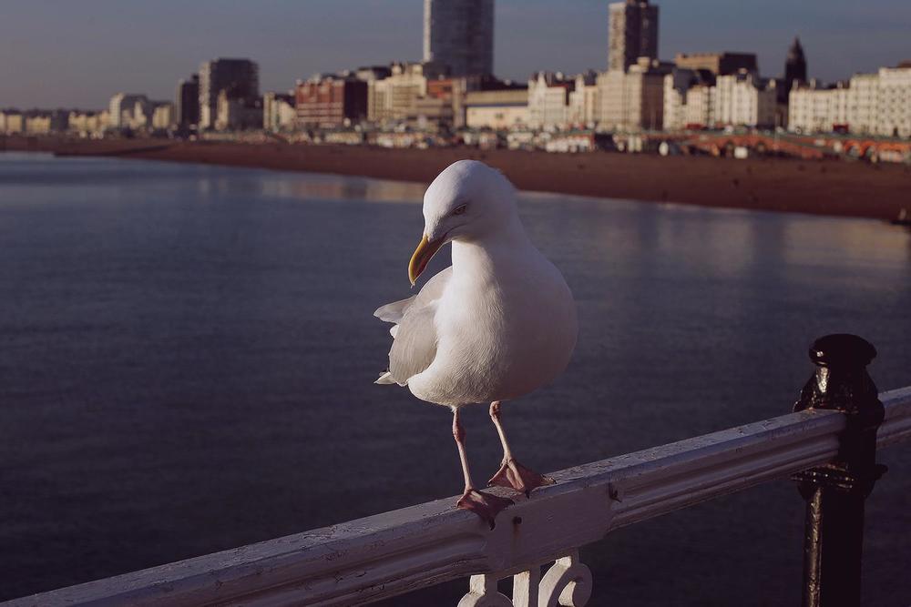 Blue Steel - a la Seagull