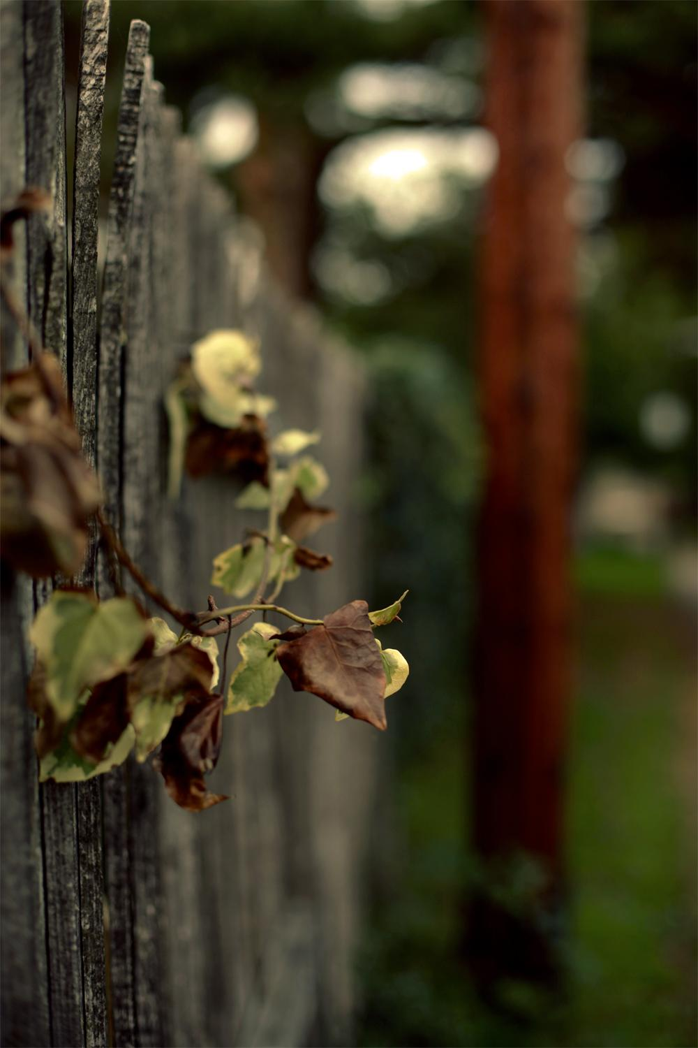 Dying Ivy