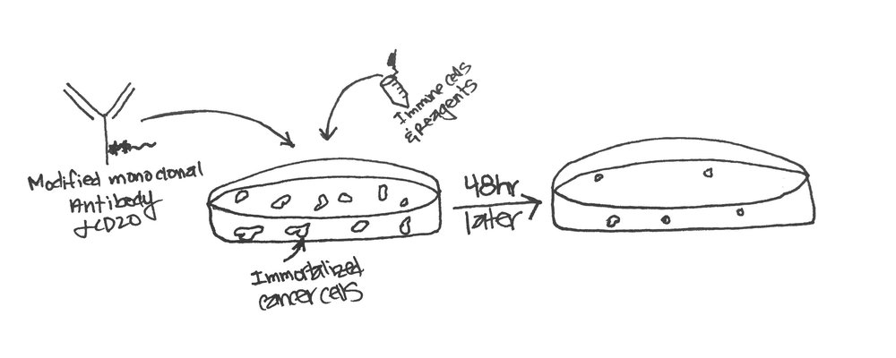 My doodle of an in vitro assay testing whether the modified antibody can kill cancer cells.