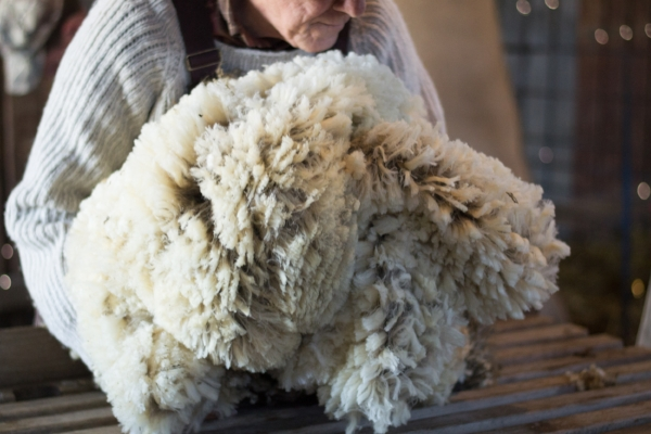 Francis Chester with a newly sheared fleece