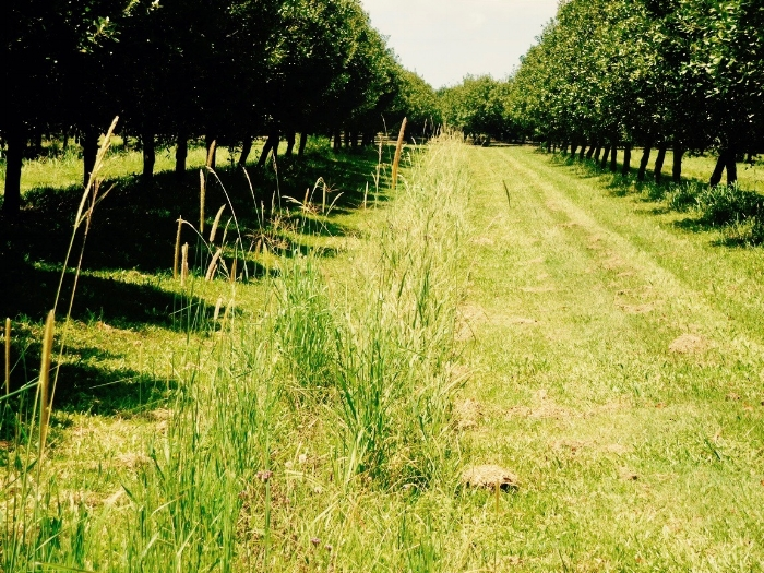 Instead of regularly mowing between our rows of trees to create that trim and tidy look usually associated with the rural landscape, we leave our orchards in a wild tangled abundance of untamed green.  We mow just before the macadamias fall and must be picked up, however even then we leave a Mohawk strip of tall green stuff down the middle of our rows for the benefit of the helpful pollinators and other insects. Regenerative farming can look messy and it takes an adjustment to appreciate a landscape where the beauty is not the manicured surface but is in the rhapsody of living things upon and within the soil.