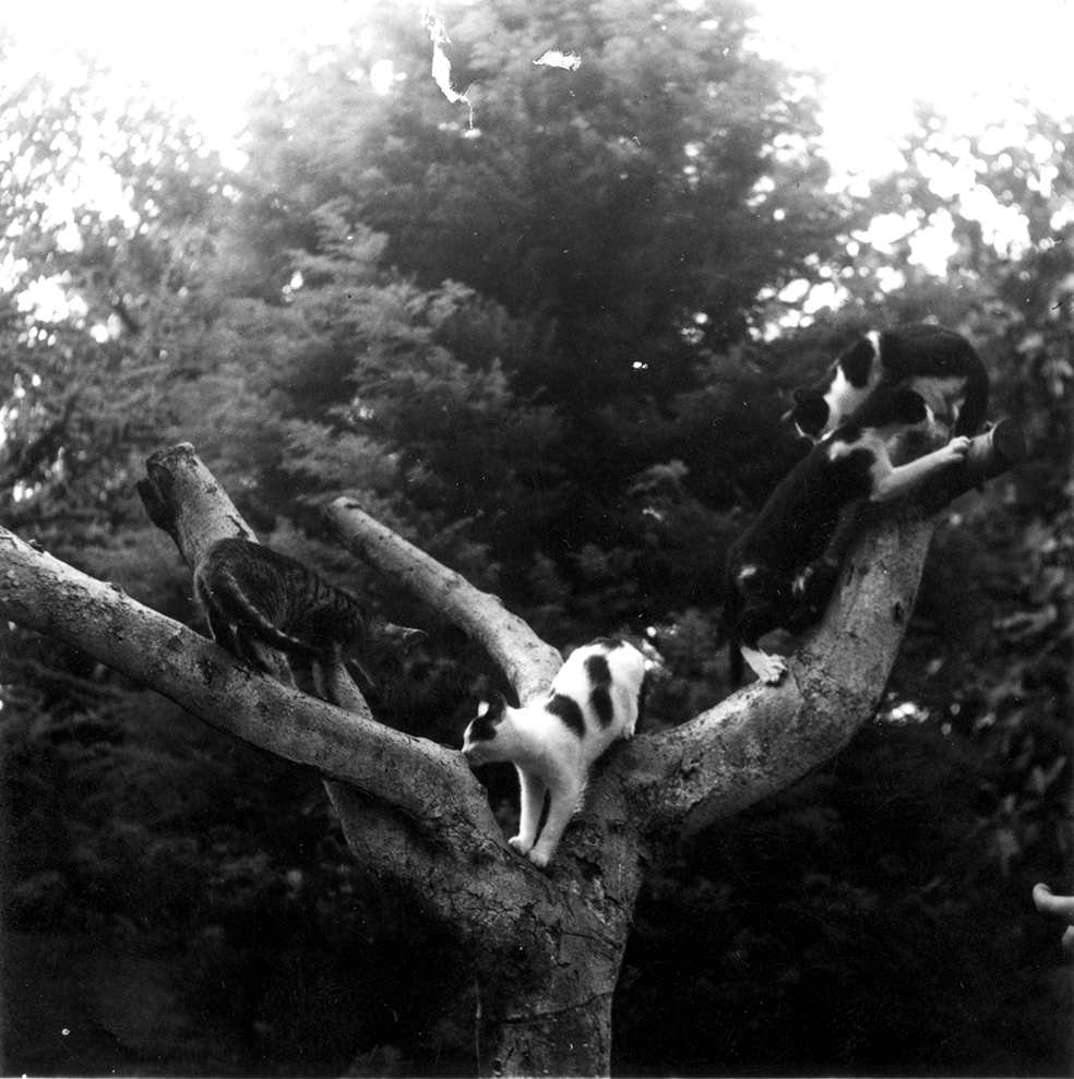 """Ernest Hemingway's Cats, Willy and triplets Spendy, Shopsky, and Ecstacy, play in a tree at Finca Vigia, Cuba,"" Year Unknown.Ernest Hemingway Collection, John F. Kennedy Presidential Library and Museum, Boston."