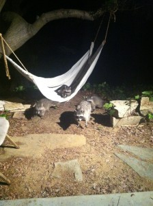 racoon party