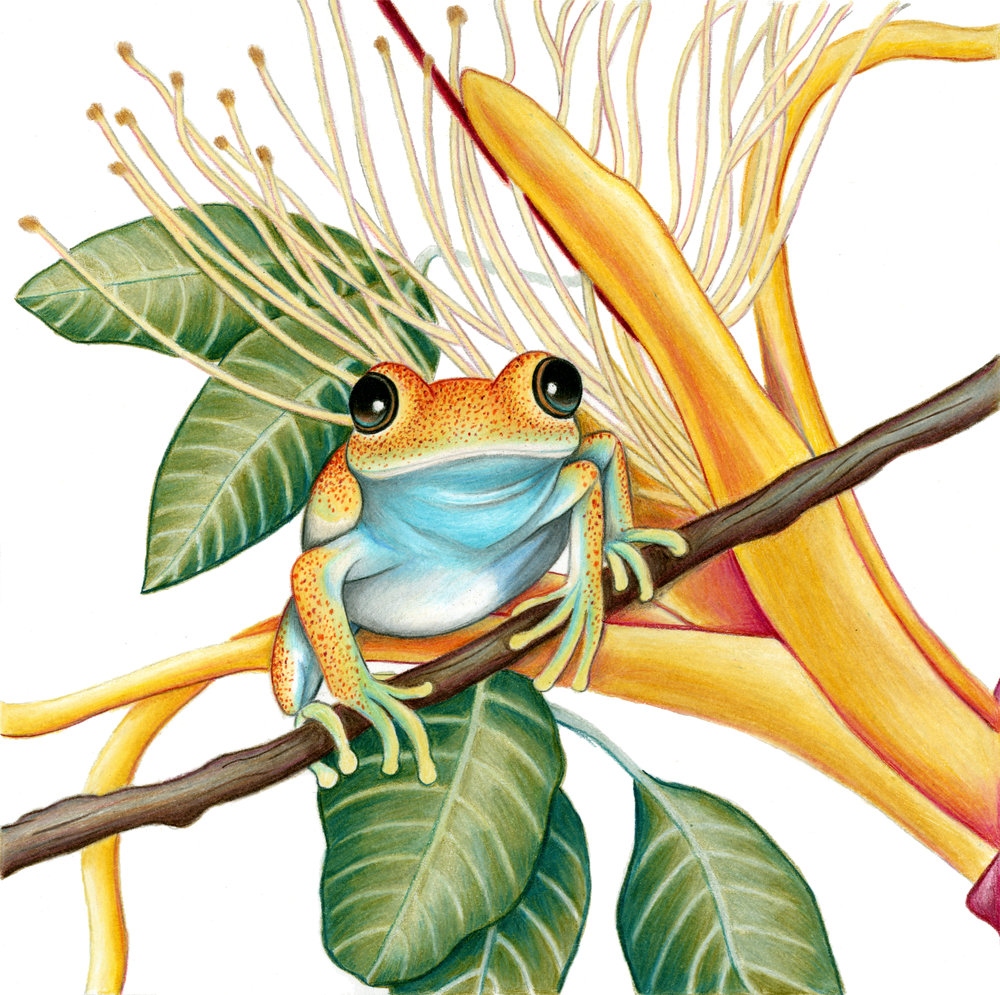 Madagascar Bright-eyed Frog (Boophis viridis)                       Artist : Rachel Diaz-Bastin    Instagram :  @racheldiazbastinillustration      Etsy :  https://www.etsy.com/shop/diazbastin     Blog :  https://thebefuddledloris.wordpress.com /