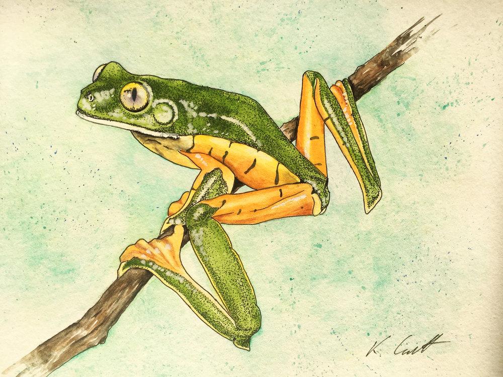 Splendid Leaf Frog (Cruziohyla calcarifer)    Artist : Katie Garrett •  Website:  www. garrettandgarrett.co.uk  •  Email : katie@garrettandgarrett.co.uk •  IG & Twitter :  @katieggarrett