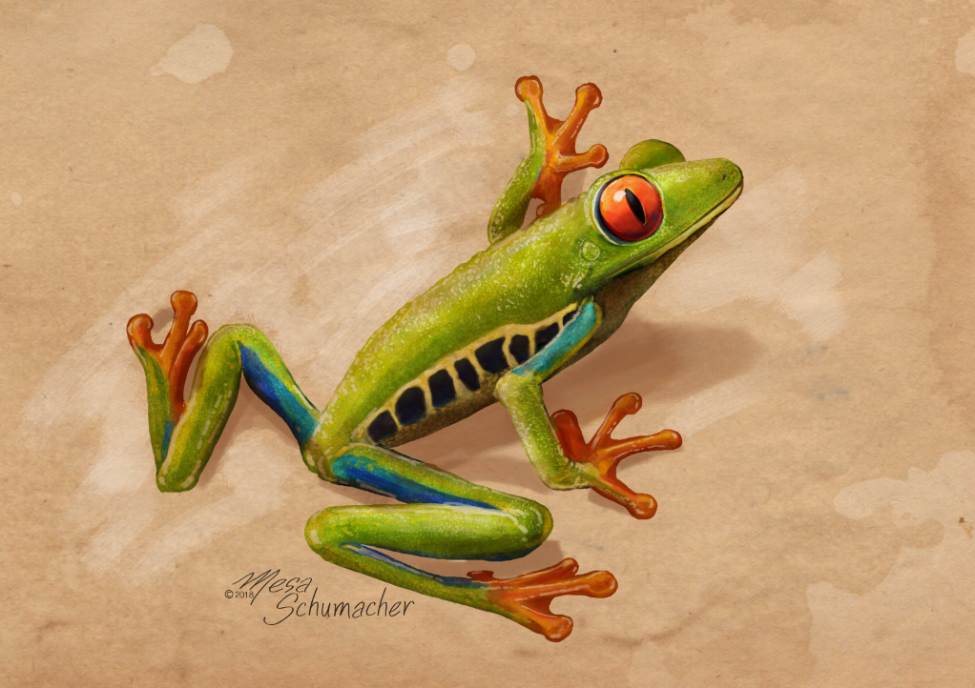 Red-eyed Tree Frog                          Artist : Mesa Schumacher    Instagram :  @mesabree    Twitter : @mesabree    Facebook :  Mesa Studios    Website : www.mesaschumacher.com