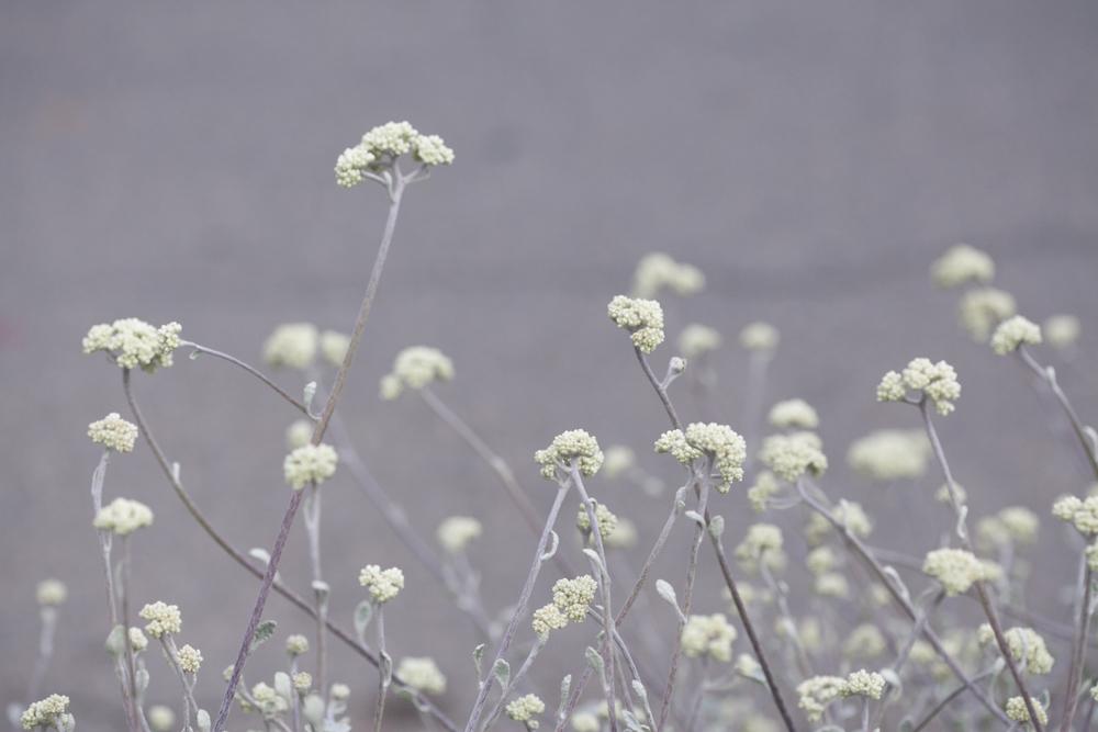 helichrysum blooms.jpg