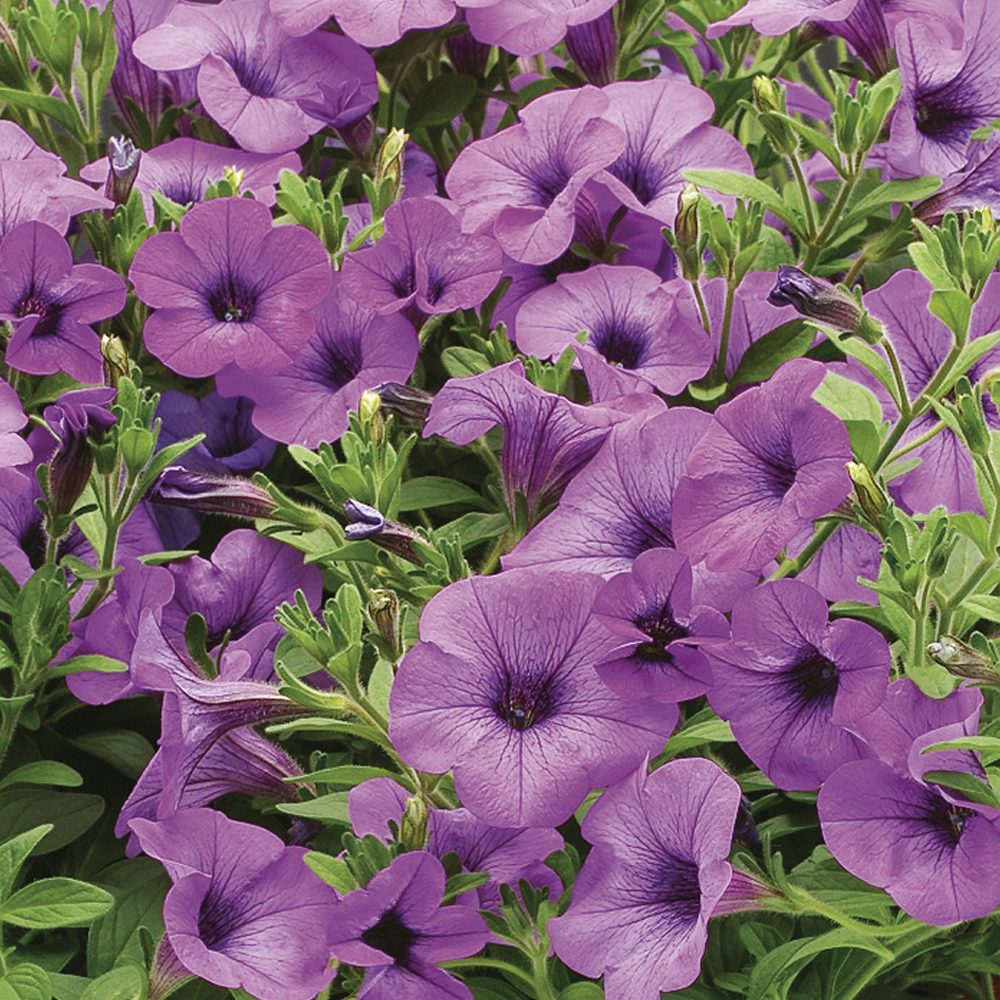 Sanguna lavender