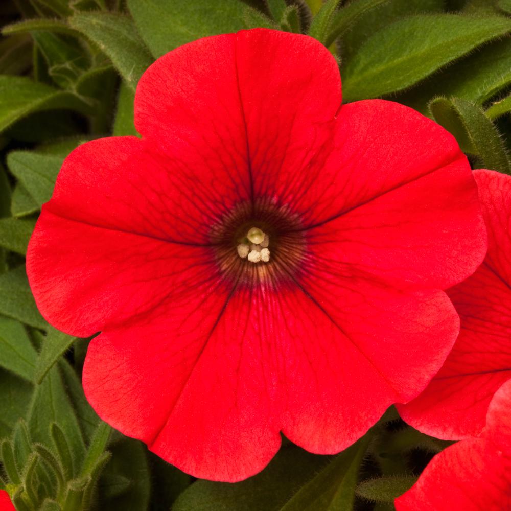 Sanguna red