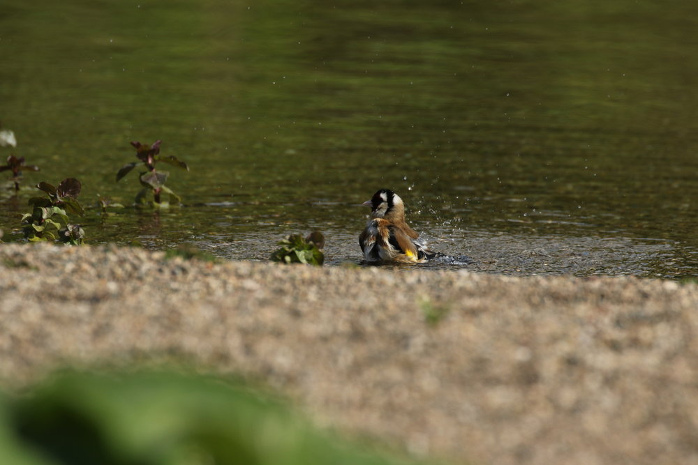 Goldfinch bathing in the shallows of our Natural Pool