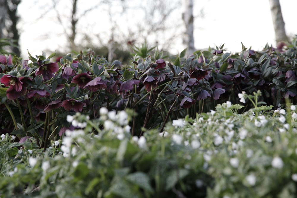 hellebores in the Winter Garden