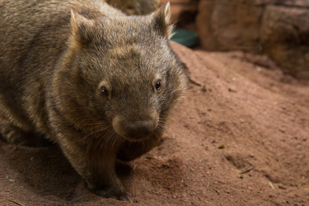 Wombat paw up (1 of 1).jpg