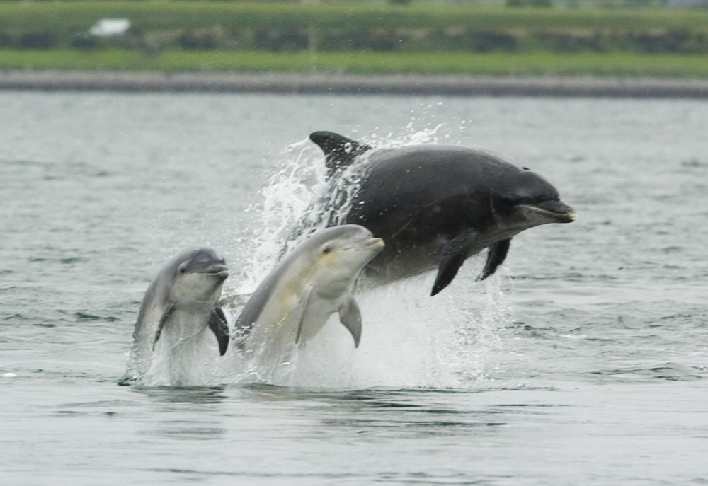 Bottlenose_dolphin_with_young.JPG