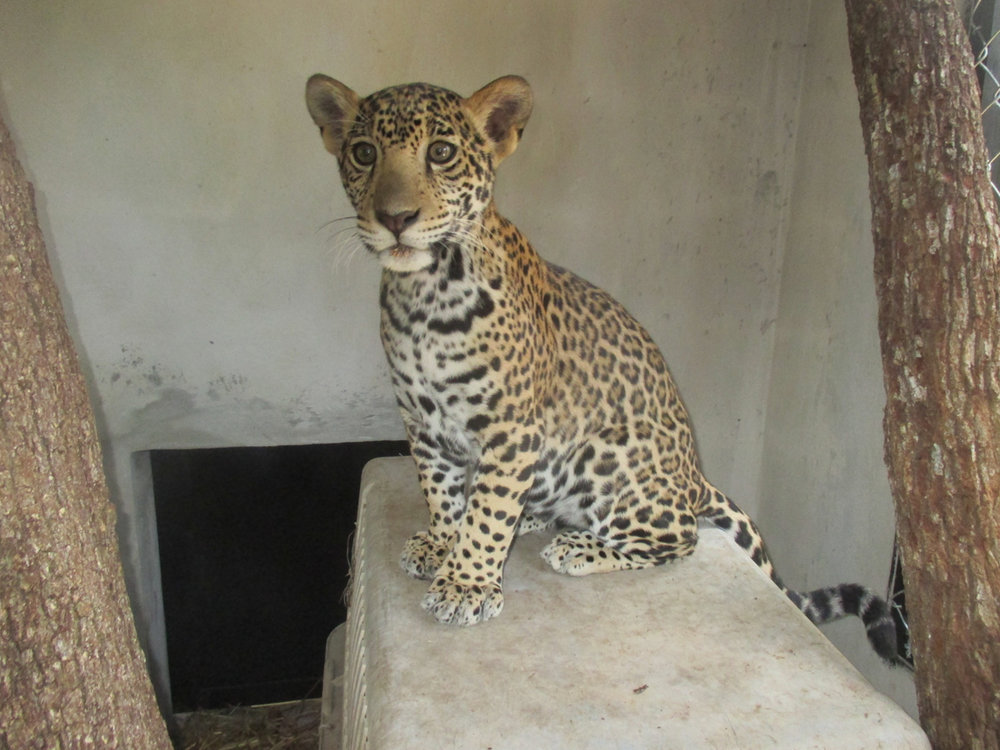 From(Sharon Matola (matola@belizezoo.org))_ID(20_4)_chiqui nov in new den.JPG