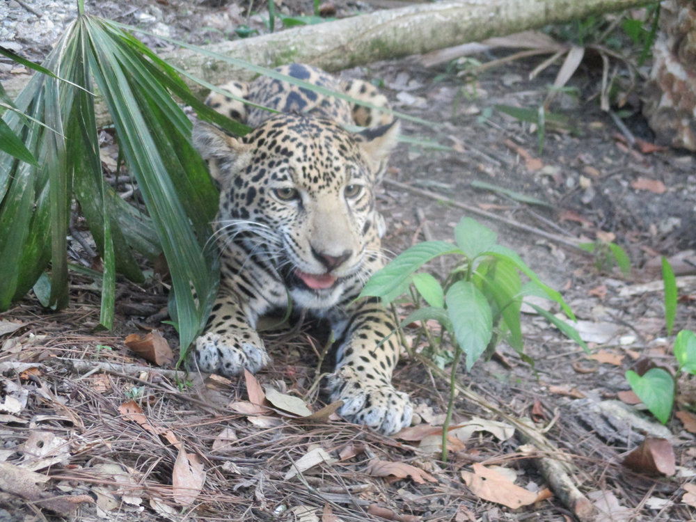 From(Sharon Matola (matola@belizezoo.org))_ID(2_3)_chiqui 6 march.JPG