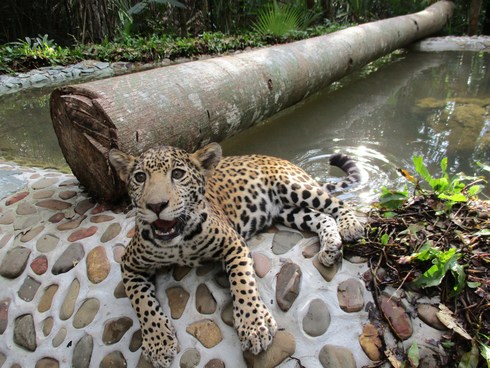 From(Sharon Matola (matola@belizezoo.org))_ID(11_3)_chiqui chillin dec 16th.JPG