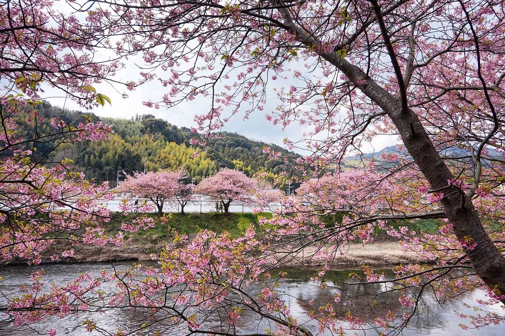 Early blooming cherry blossoms, Izu, Shizuoka, Japan