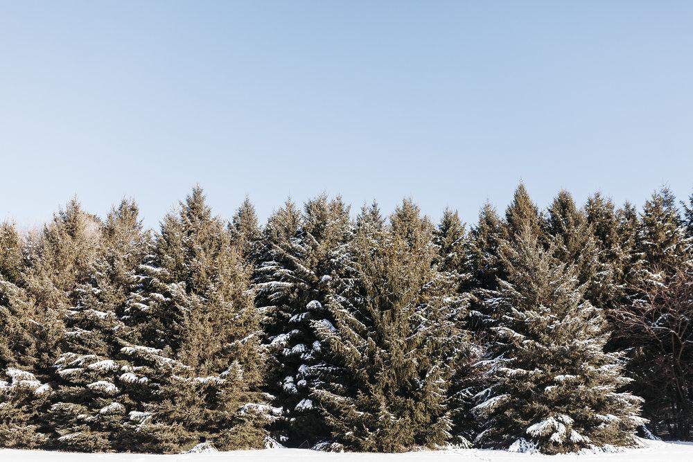 Pine Trees.jpg