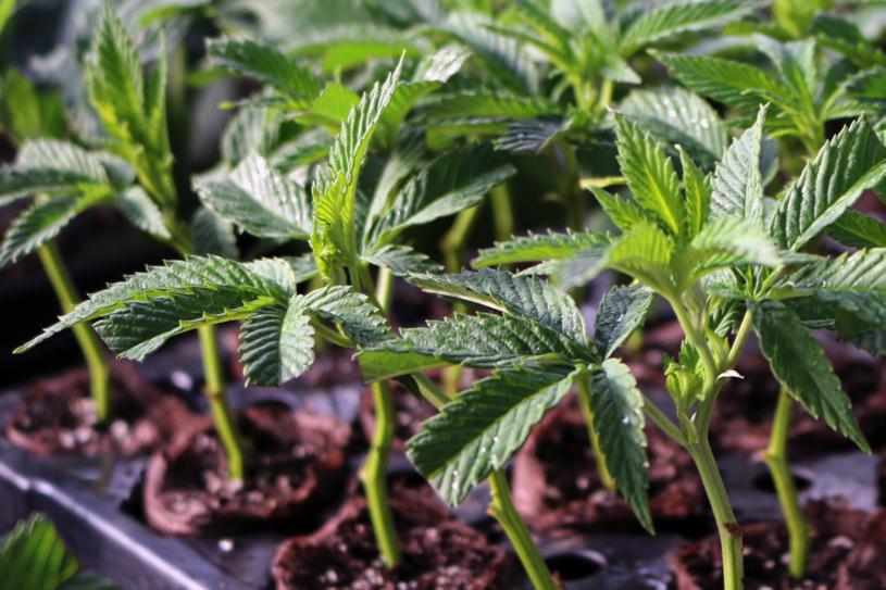 greenhouse-growing-system-hemp