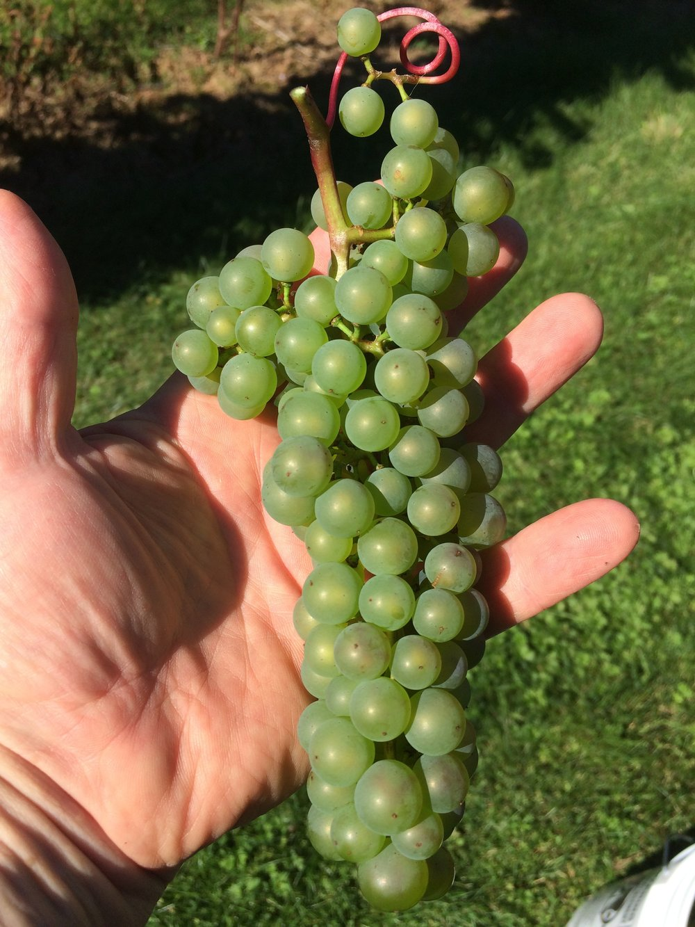 Learn about  L'Acadie Blanc  grapes.