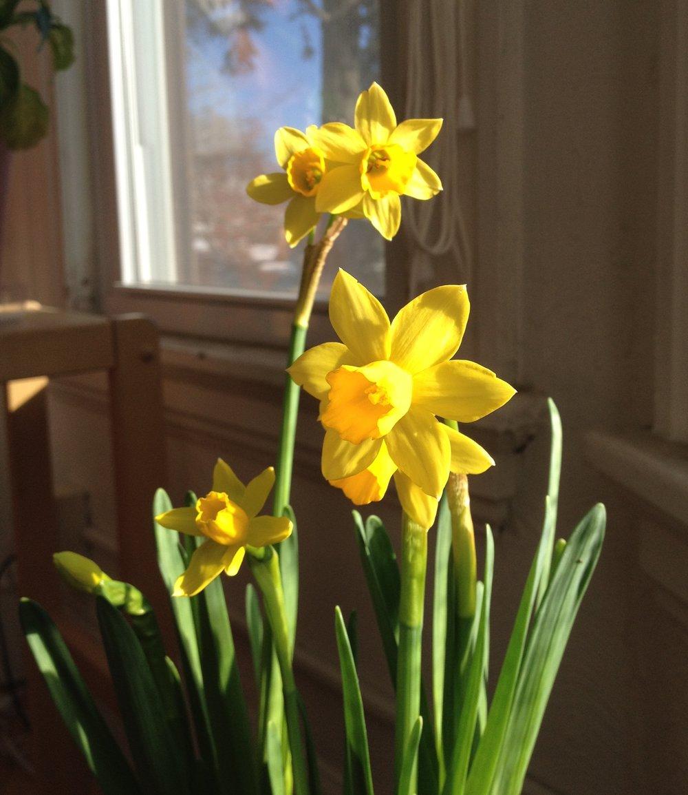 daffodils+001.jpg