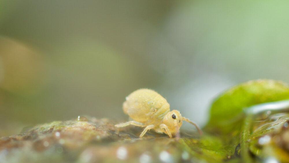 Sminthurides species
