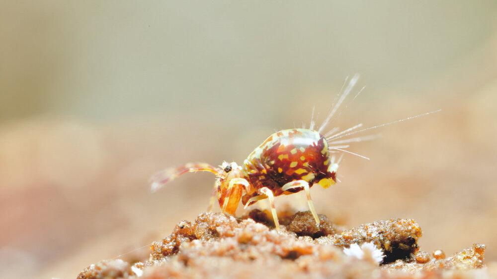 Dicyrtomina species