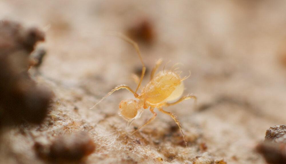 Podocinidae