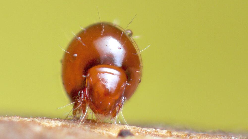 Euphthiracaridae