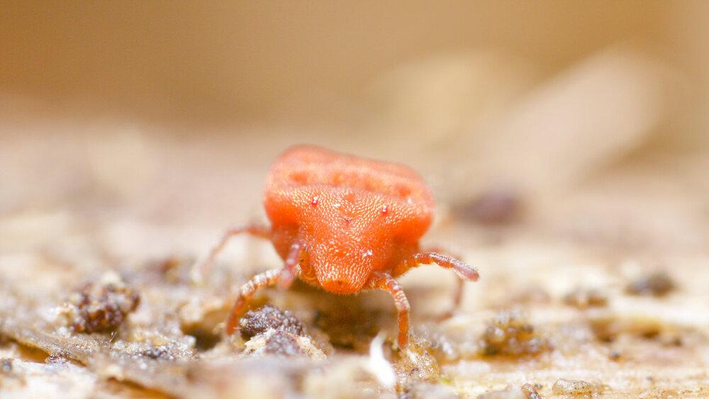 Calyptostoma velutinus
