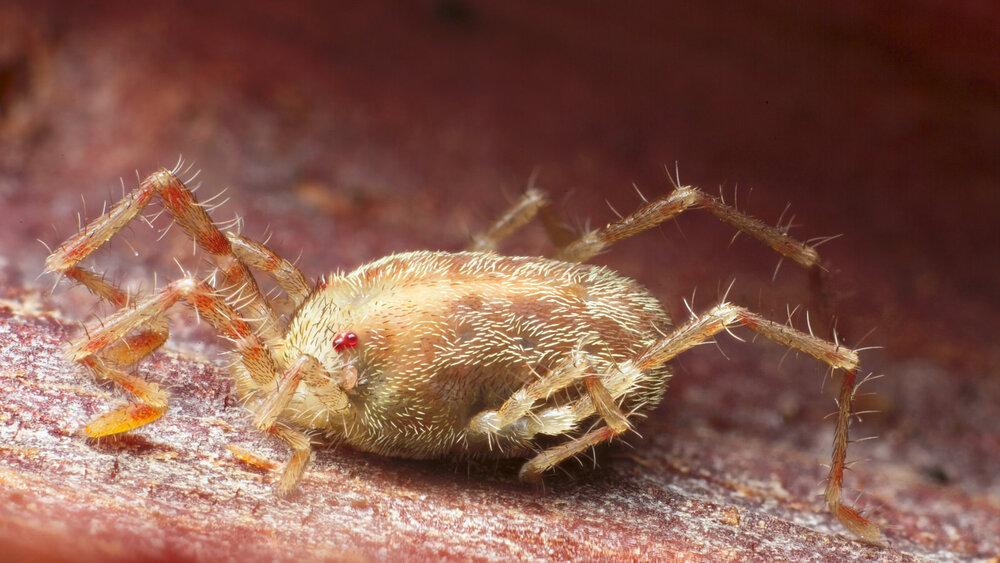 Erythaeidae