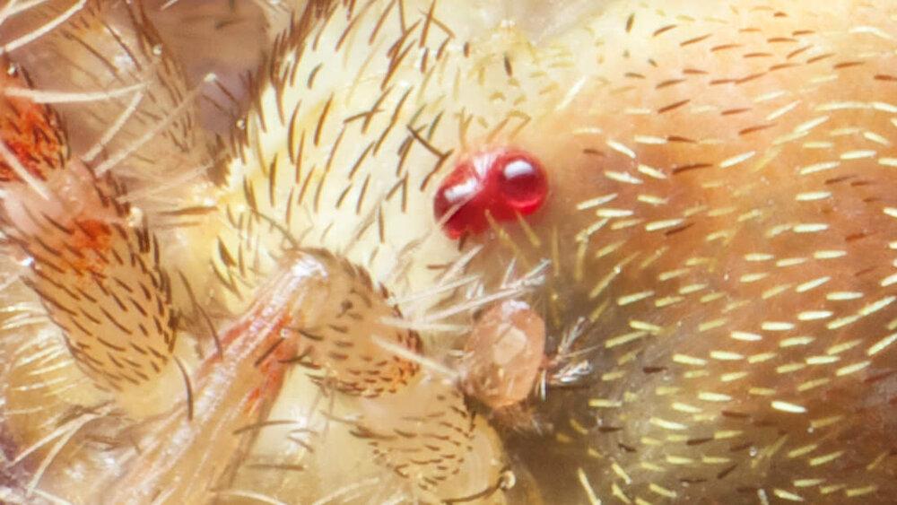 Erythaeidae with Erythaeidae larva (Parasitengona)