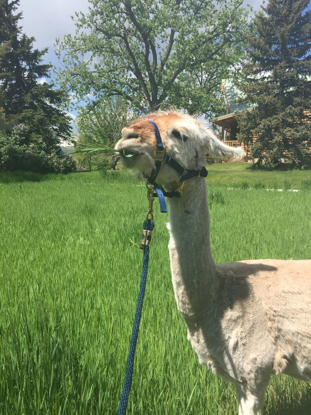 Hates the halter, loves the grass