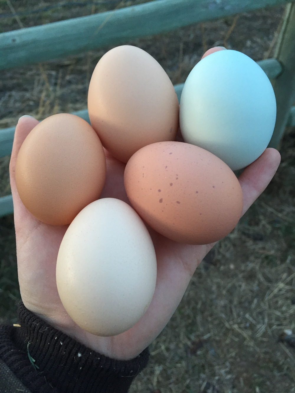 Egg Color