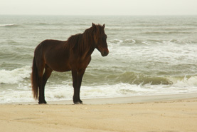 Assateague Stallion   photograph