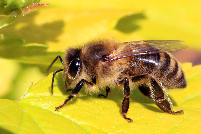 honeybeeWikiMedia