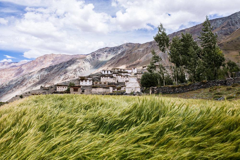 Summer wheat fields in the village of Kumik.