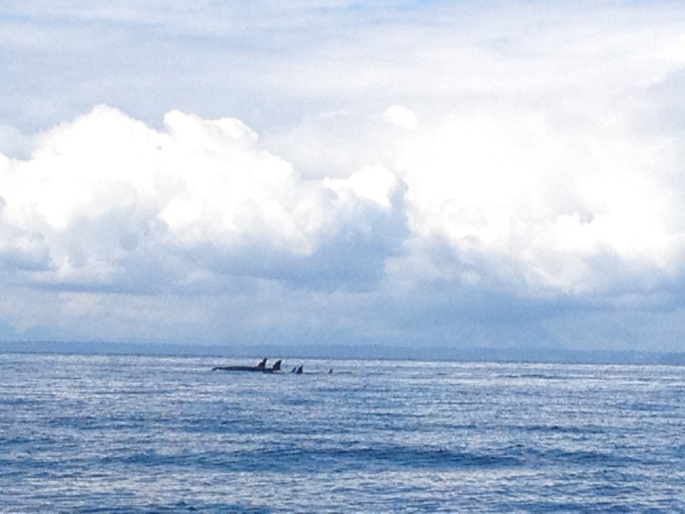 I took this in July 2014: killer whales off San Juan Island